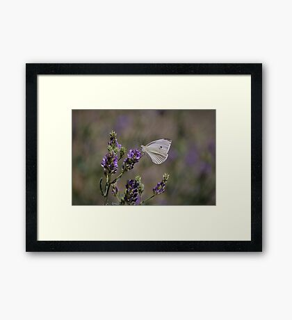 Cabbage White Butterfly I Framed Print