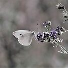 Cabbage White Butterfly II by Len Bomba
