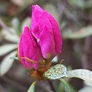 Azalea Buds by Erica Long