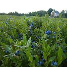 Maine Blueberry Fields by snittel