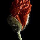 Poppy Bud  by Ann Garrett