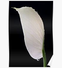Peace Lily (spathipyllum) Poster