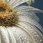 Solo Gerbera Daisy - Close Up       ^ by ctheworld