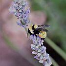 Bumblebee Gathering Pollen by Len Bomba