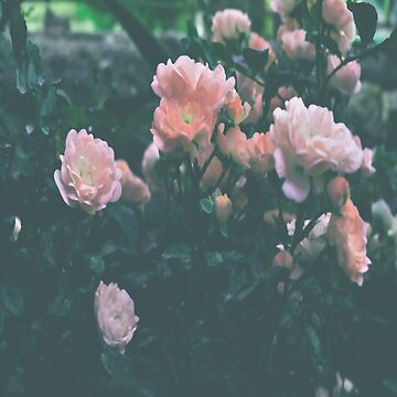 Rose garden by by-jwp