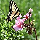 Western Tiger Swallowtail Butterfly by Len Bomba