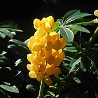 Backlit Golden Lupin by SunriseRose