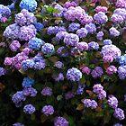 Beautiful Hydrangea Blossoms von SunriseRose