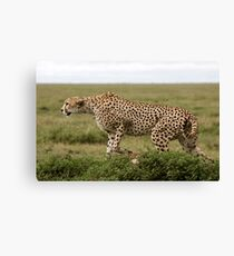 Alert Cheetah, the Ngorongoro Conservation Area Canvas Print