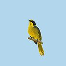 Helmeted Honeyeater 5 by quentinjlang