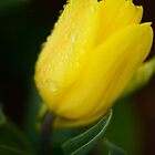 Droplets settle on golden tulip petals by imaginethis