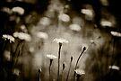 Dandelions by Christine Wilson
