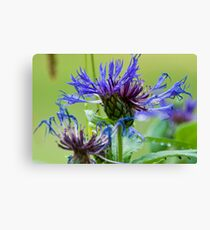 Cornflower Macro Close-UP and Personal:-) Canvas Print