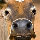 Nosey Cow by Kerry Dunstone