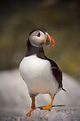 Puffin Portrait by David Lewins