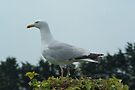 Father Seagull Look Out by davesphotographics