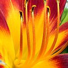 Day Lily Exposé by Donna R. Cole