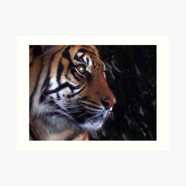 Tiger, Tiger Art Print