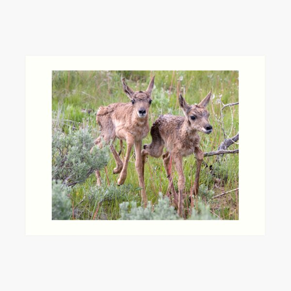 Pronghorn Twins Romping Art Print