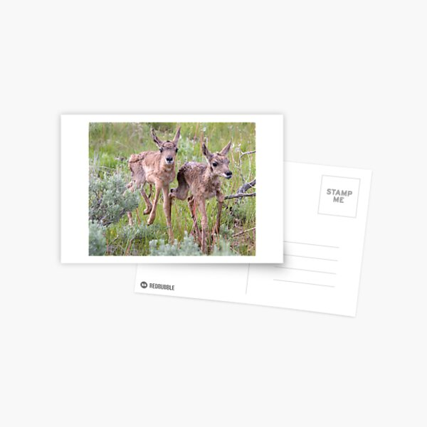 Pronghorn Twins Romping Postcard