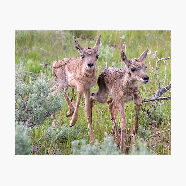 Pronghorn Twins Romping Photographic Print