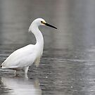 Thinking Snowy Egret by lloydsjourney