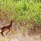 Doe on the move by lloydsjourney