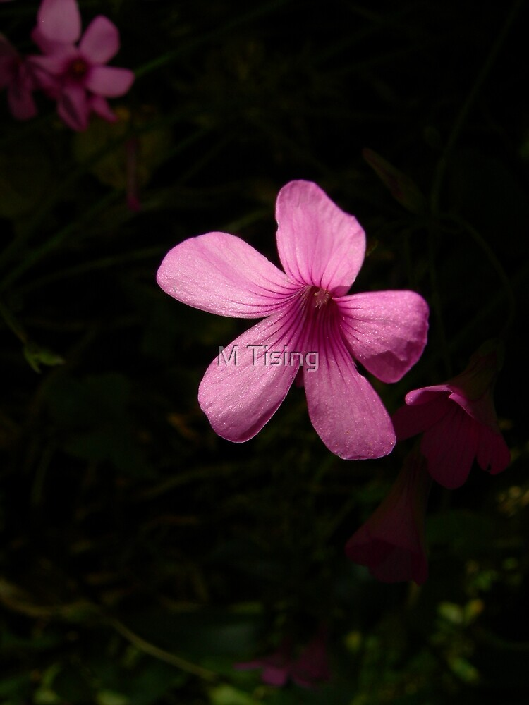 In the Dark - Oxalis by M Tising