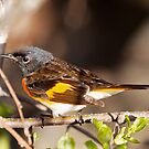 American Redstart by lloydsjourney
