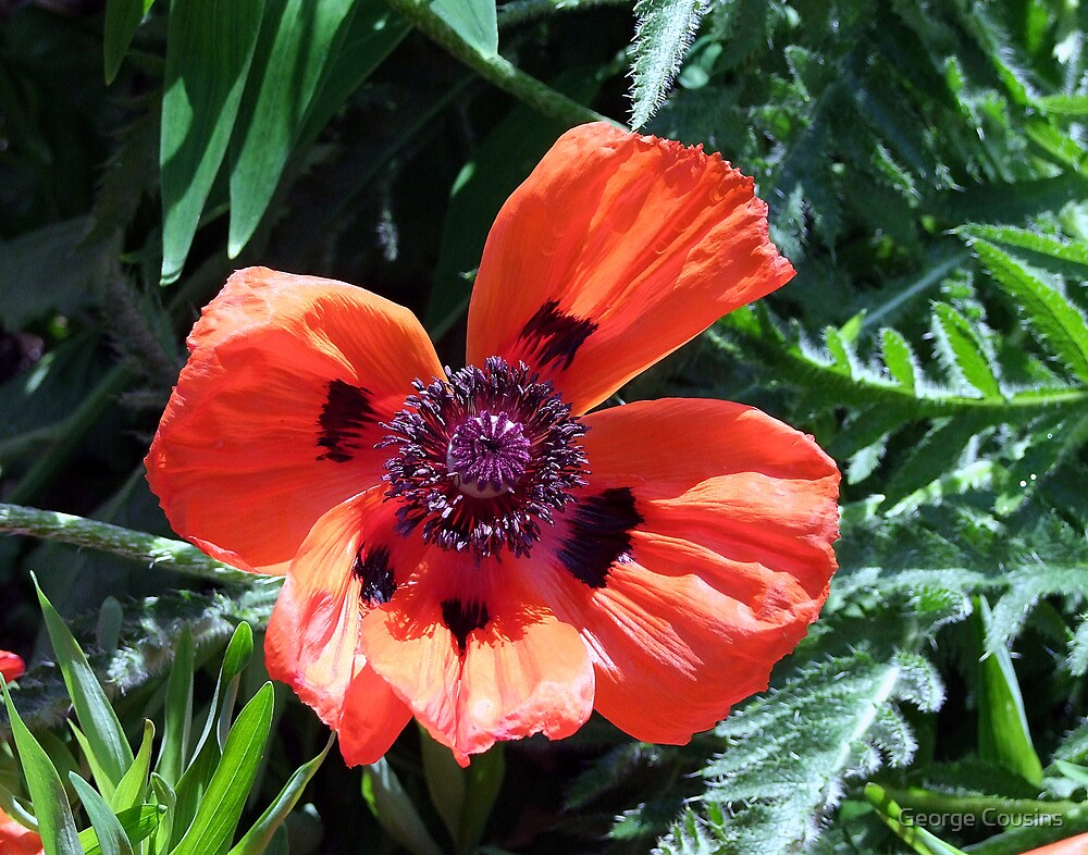 Poppy by George Cousins