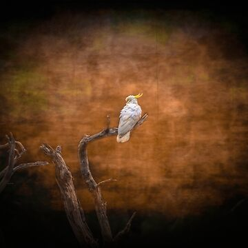 Sulphur crested Cockatoo by colinsart