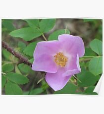 Wild Rose Bloom Poster