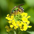 Agapostemon Bee by DigitallyStill