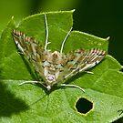 The Munroessa icciusalis - Moth by DigitallyStill