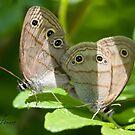 A Pair of Little Wood Satyr Butterflies by DigitallyStill