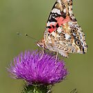The Painted Lady - Butterfly by DigitallyStill