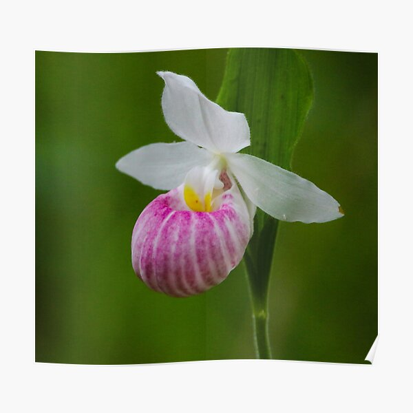 Showy Pink Ladyslipper Orchid Poster