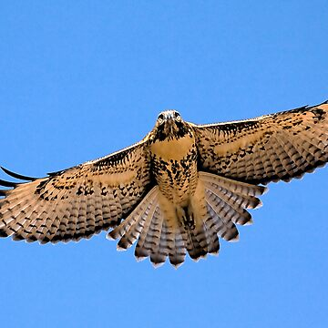 0627093 Red Tailed Hawk (Juvenile) by mcollins