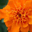 Center of the Marigold by Colleen Drew