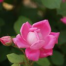 Pink Rose by Rick  Friedle
