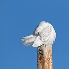 Snowy Owl 2018-20 by Thomas Young