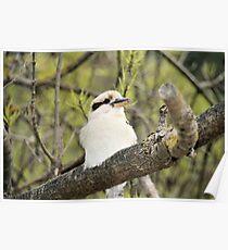 A little bit closer-kookaburra. Poster