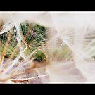 Dandelion Study by MRPhotography