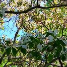 Dogwood by solareclips~Julie  Alexander