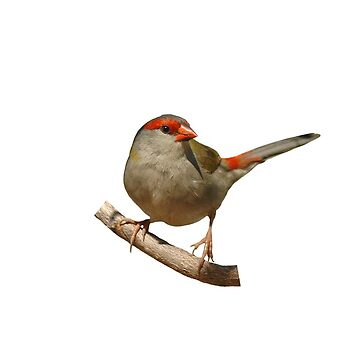 Red-browed Finch by quentinjlang