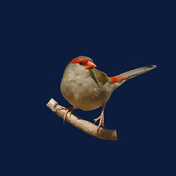 Red-browed Finch 2 by quentinjlang