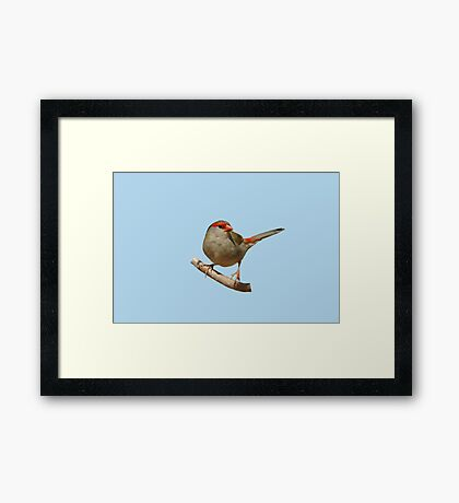 Red-browed Finch 4 Framed Print