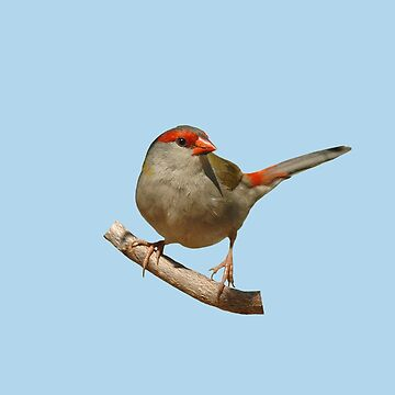 Red-browed Finch 4 by quentinjlang