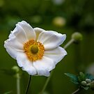 White Anemone  by PhotosByHealy