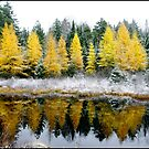 Franconia Pond Larches by Wayne King